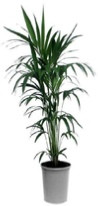 office-plants-kentia-palm