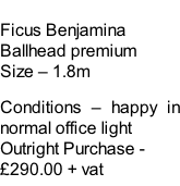 Ficus Benjamina Ballhead premium Size – 1.8m  Conditions – happy in normal office light  Outright Purchase - £290.00 + vat